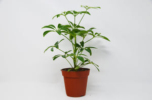 "Schefflera Arboricola 'Umbrella' - 4"" Pot"