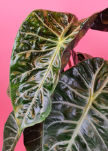 "Load image into Gallery viewer, ALOCASIA ""PINK DRAGON"""