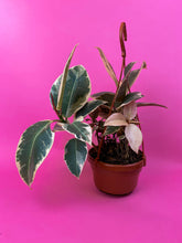 "Load image into Gallery viewer, HANGING FICUS ELASTICA TINEKE ""RUBBER PLANT"""