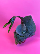 "Load image into Gallery viewer, PLATYCERIUM SUPERBUM ""STAGHORN FERN"""