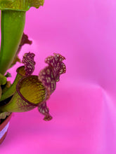 Load image into Gallery viewer, SARRACENIA - TRUMPET PITCHER