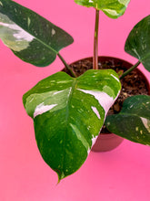 "Load image into Gallery viewer, PHILODENDRON ""WHITE PRINCESS"""