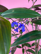 Load image into Gallery viewer, WEEPING BLUE GINGER - DICHORISANDRA PENDULA