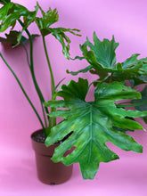 "Load image into Gallery viewer, RARE PHILODENDRON ""SHANGRI"""