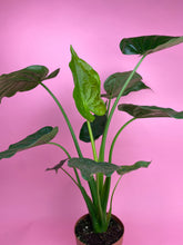 Load image into Gallery viewer, ALOCASIA CUCULLATA