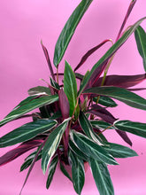Load image into Gallery viewer, CALATHEA STROMANTHE TRIOSTAR