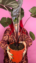 Load image into Gallery viewer, ALOCASIA - YUCATAN PRINCESS