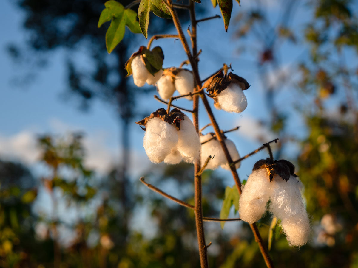cotton growing thailand