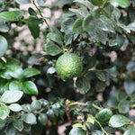 Load image into Gallery viewer, Dooja / Gympie Lime - Melbourne Bushfood