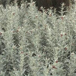 Load image into Gallery viewer, Saltbush - Melbourne Bushfood