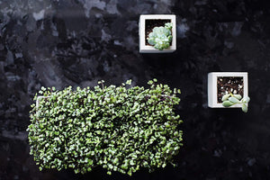 Load image into Gallery viewer, Grow Your Own Red Cabbage Microgreens Kit