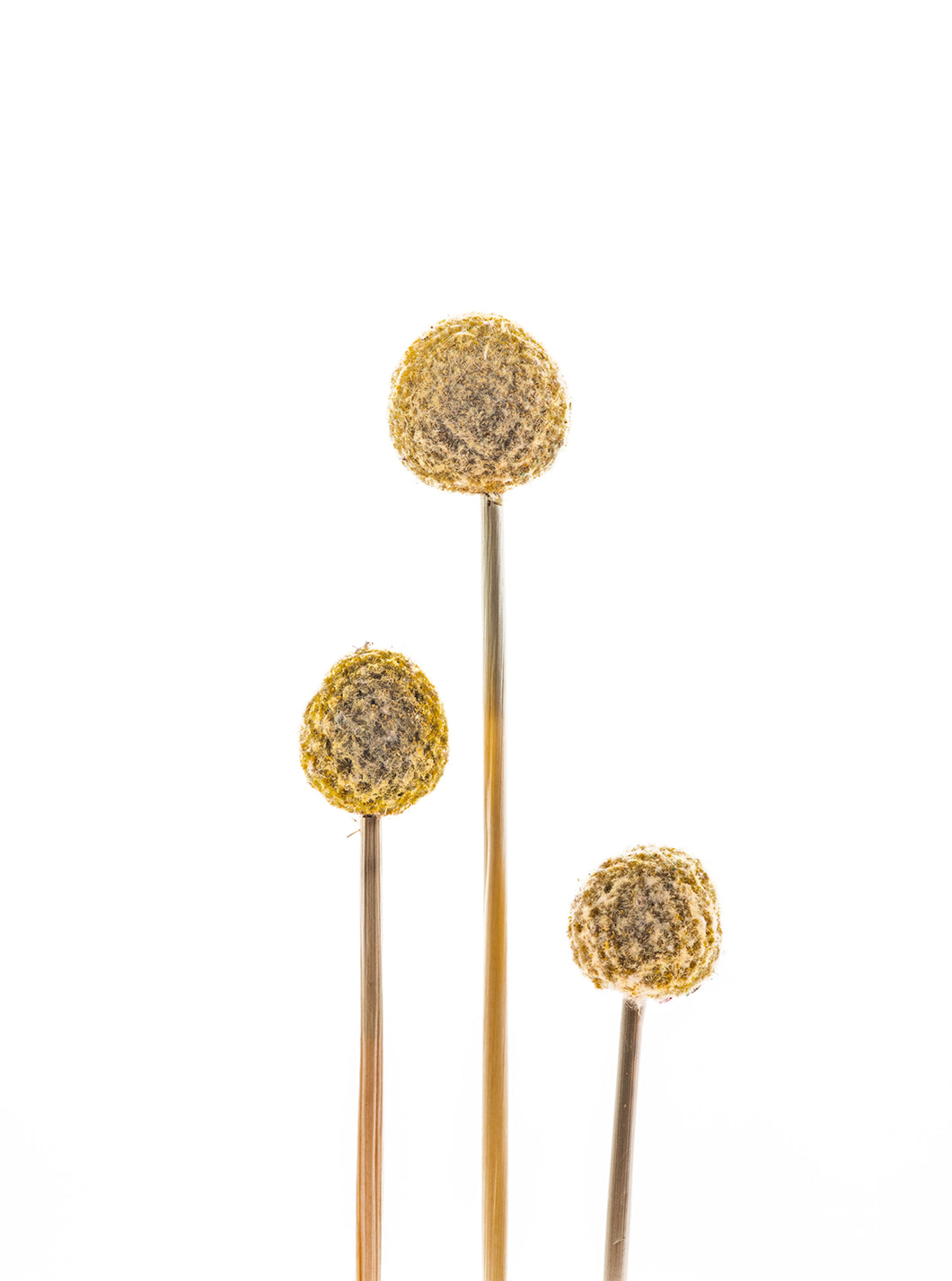 Billy Buttons (Fine Art Photography)