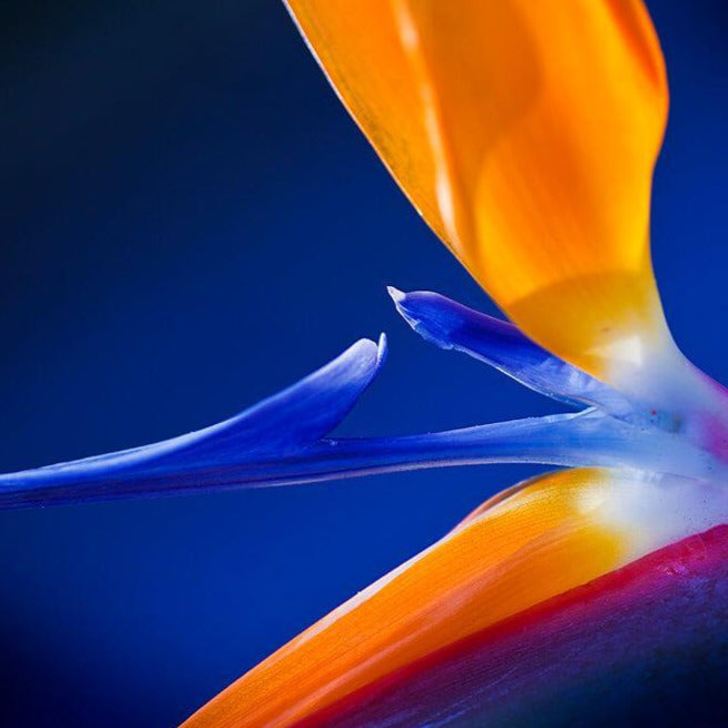 Bird Of Paradise by Judi Neumann