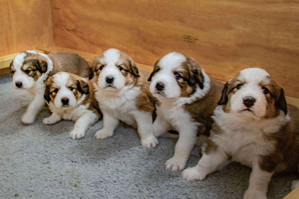 Great Bernese Puppies
