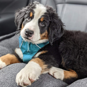 """Excalibur"" - Bernese Mountain Dog Puppy (Male)"