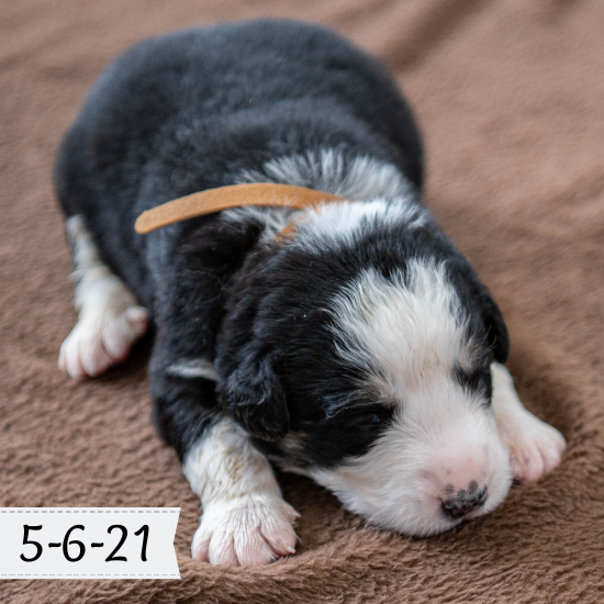 Diggle - Great Bernese Puppy (Male)
