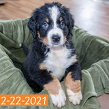 """Lancelot"" - Bernese Mountain Dog Puppy (Male)"