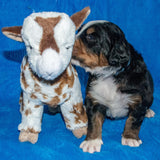 Arthur the Male Bernese Mountain Dog Puppy Camelot January With Stuffed Animal Baby Goat Toy