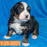 Arthur Bernese Mountain Dog January Camelot Litter Male Puppy