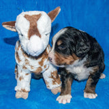 Arthur a Male Bernese Mountain Dog Puppy Camelot January With Stuffed Animal Baby Goat Toy