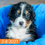 """Arthur"" - Bernese Mountain Dog Puppy (Male)"