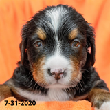 """Rebel"" - Bernese Mountain Dog Puppy (Male)"