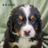 """Yankee"" - Bernese Mountain Dog Puppy (Male)"