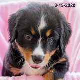 """Independence"" - Bernese Mountain Dog Puppy (Female)"