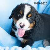 """Patriot"" - Bernese Mountain Dog Puppy (Male)"