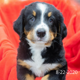 """Liberty"" - Bernese Mountain Dog Puppy (Female)"