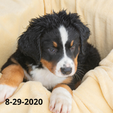 """Victory"" - Bernese Mountain Dog Puppy (Female)"