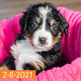 """Camelot"" - Bernese Mountain Dog Puppy (Female)"