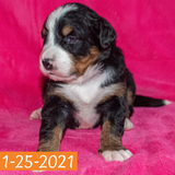 Camelot Bernese Mountain Dog January Camelot Litter Female Puppy