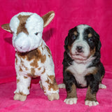 Camelot the Female Bernese Mountain Dog January Camelot Puppy with stuffed Animal Baby Goat Toy