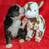 Excalibur the Male Bernese Mountain Dog Puppy Camelot January With Stuffed Animal Baby Goat Toy