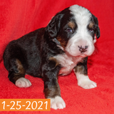 Excalibur Bernese Mountain Dog January Camelot Litter male Puppy