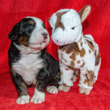 Excalibur a Male Bernese Mountain Dog Puppy Camelot January With Stuffed Animal Baby Goat Toy