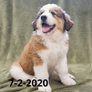 """Joey"" - Great Bernese Puppy (Male)"