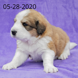 """Rachel"" - Great Bernese Puppy (Female)"