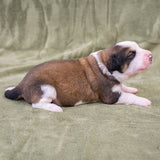 Great Bernese Puppy for Sale lying side ways