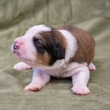 Great Bernese Puppy for Sale