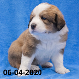"""Monica"" - Great Bernese Puppy (Female)"