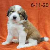 """Chandler"" - Great Bernese Puppy (Male)"