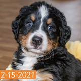 """Gwen"" - Bernese Mountain Dog Puppy (Female)"