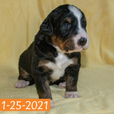 Gwen Bernese Mountain Dog January Camelot Litter Female Puppy