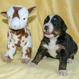 Gwen the Female Bernese Mountain Dog Puppy Camelot January With Stuffed Animal Baby Goat Toy