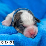 """Jim"" - Great Bernese Puppy (Male)"