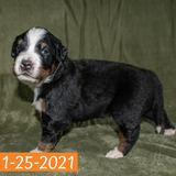 Lancelot Bernese Mountain Dog January Camelot Litter Male Puppy