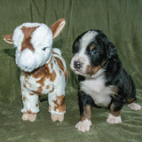 Lancelot a Male Bernese Mountain Dog Puppy Camelot January With Stuffed Animal Baby Goat Toy
