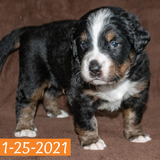 Merlin Bernese Mountain Dog January Camelot Litter Male Puppy